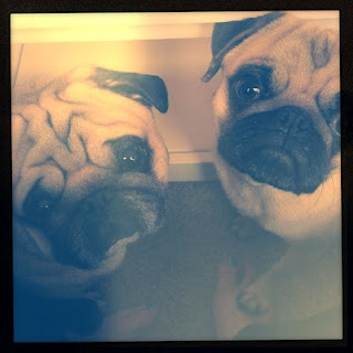 Stinky Pugs - Tater and Bruce