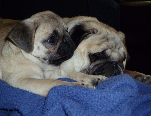 Tater the Pug at age 4 w/Bruce